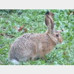 Kaninchen im FKK-Camping Useriner See