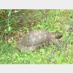 Schildkröte am Bärenfelsen