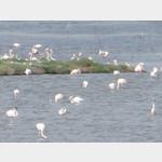 Flamingos am Stagno di S. Giusta