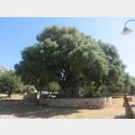 2000 Jahre alter OLivenbaum