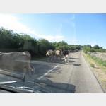 Kühe auf der Hauptstrasse