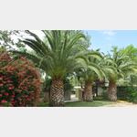 Palmen auf dem CP Aquarius