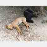Hunde auf Sizilien