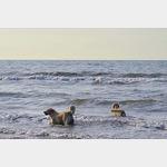 Unsere drei Wasserhunde sind kaum aus dem Wasser zu bekommen, hier an der Westküste in Dänemark