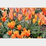 Tulpen in vielen Variationen waren auf der Tulpenroute im Nordostpolder zu sehen, die für das Tulpenfestival vom 19.4. bis 30.4 extra ausgeschildert war.