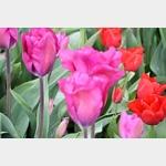 Noch mehr Tulpen