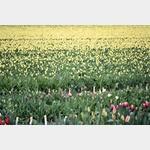 Zur Abwechsung mal ein Tulpenfeld