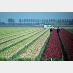 Und noch ein Feld mit Tulpen, leider noch nicht ganz aufgeblüht, aber man sieht die Farben
